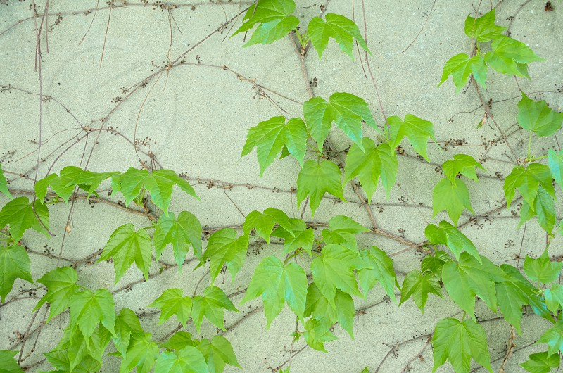 architecture backdrop background building cement closeup color concrete creeper creeping exterior fence flora foliage garden grape grapes green growth home leaf leaves natural nature old ornamental outdoor outdoors plant plants stone summer surface vegetation vine vines wall wild photo