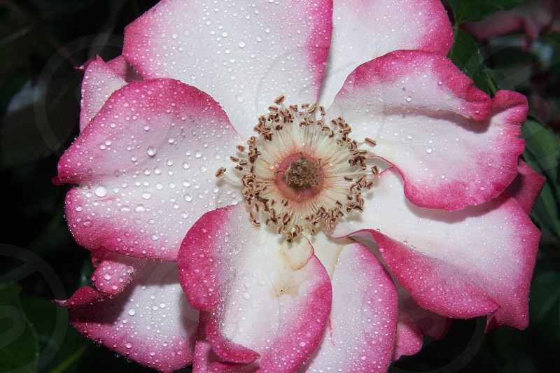 water droplets on pink and white flower photo