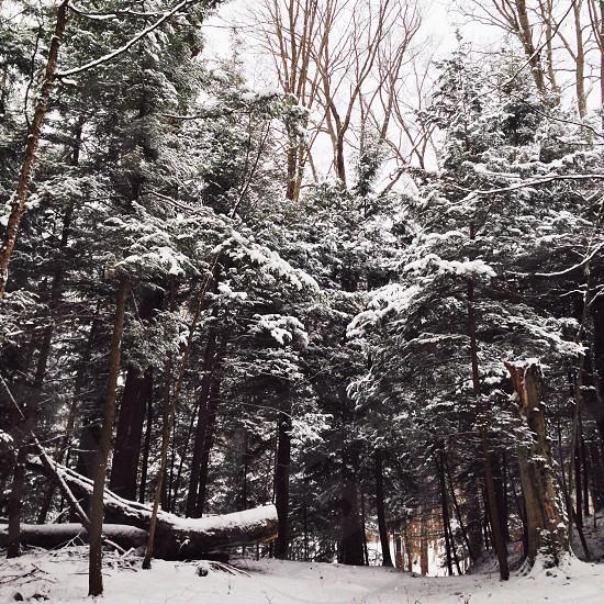 gray winter trees on snow photo