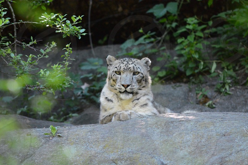 tiger resting on grey rock with plants during daytime photo