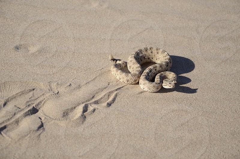 Sidewinder rattlesnake (Crotalus cerastes) sidewinding across the loose desert sand of its SW Arizona natural habitat leaving telltale tracks. photo