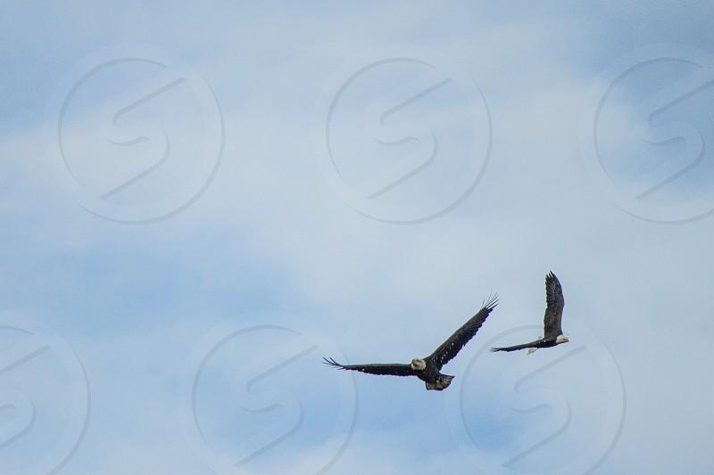 Soaring Bald Eagles. photo
