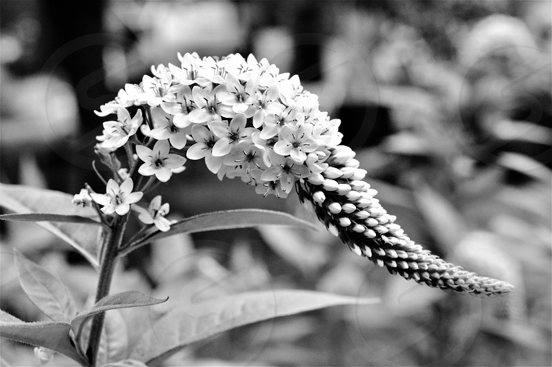 Flowers in B&W photo