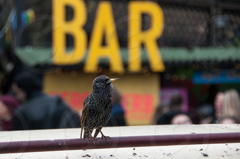 Adult starling waiting for its next meal at Camden Market London photo