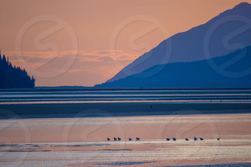 Multiple bald eagles in Alaska on the mudflats. photo