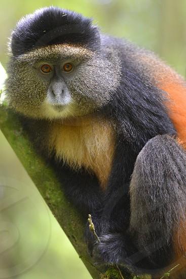 Golden Monkey - Rwanda photo