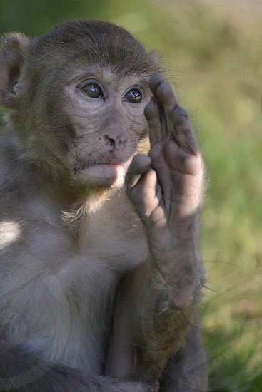 Wild monkey saluting with his foot. photo