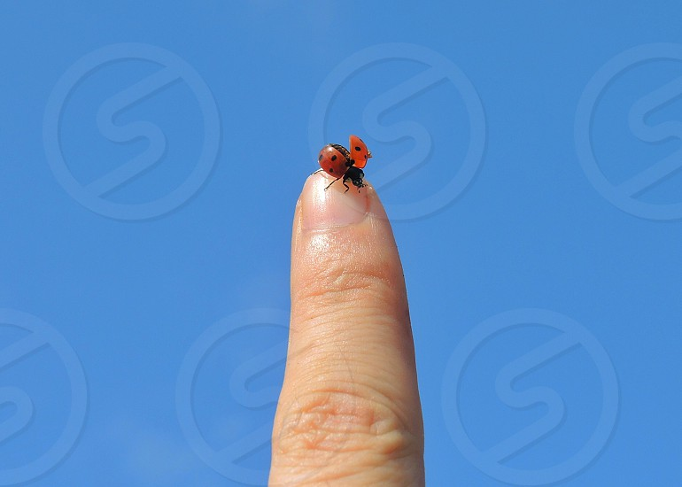 ladybug perched on person's finger photo