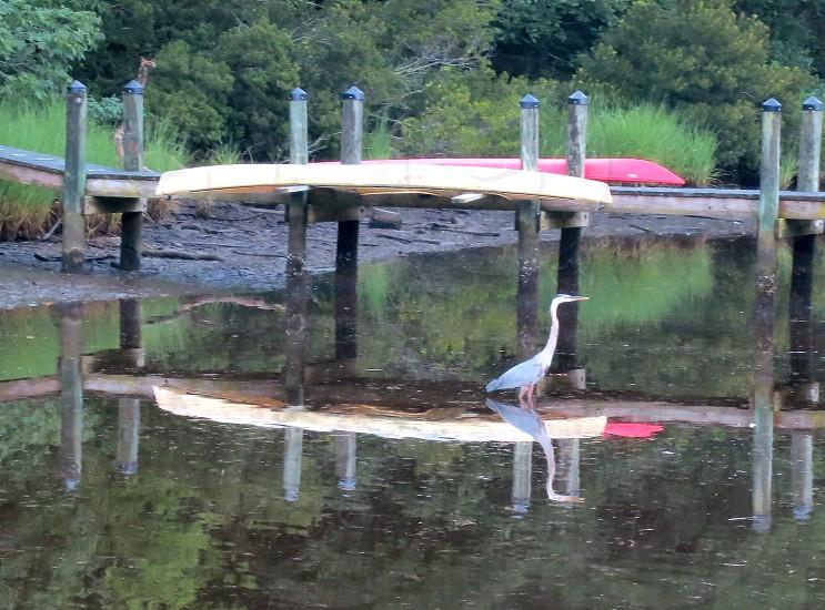Blue Heron Onancock Creek Eastern Shore Virginia photo