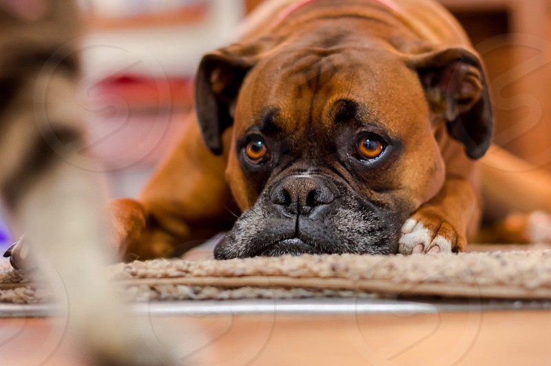 Dog boxer boxer dog pet cat animals animals pets stare stare down brown puppy puppy dog eyes mans best friend portrait bokeh animal photography head face paws eyes purebred photo