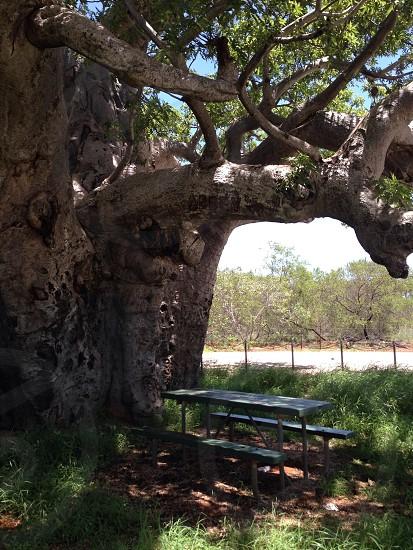 Boab Shade Rekax Heat Tree Bench Foliage photo