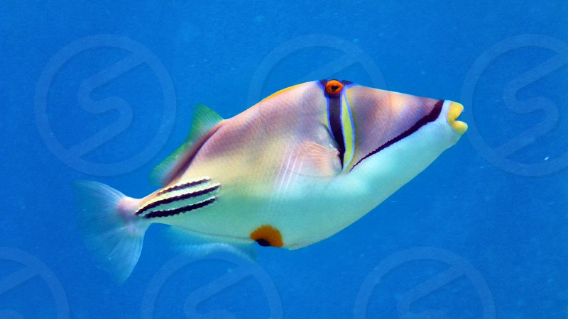Picasso fish in Red sea Eilat Israel.                     photo