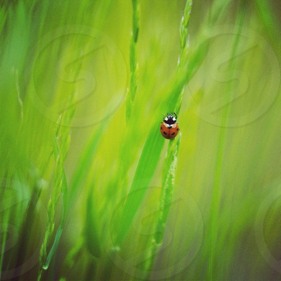 10-spotted ladybug on green grass photo