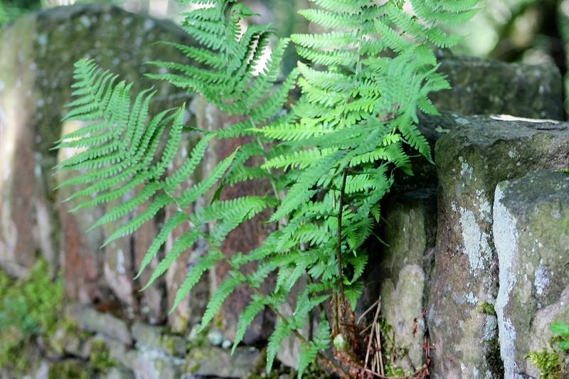 Rule of thirdsruralcountrysidestonewallfernplantgrowingcountryside photo
