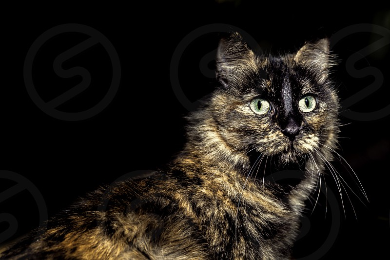 Lovely green eyes cat looking front with black background photo