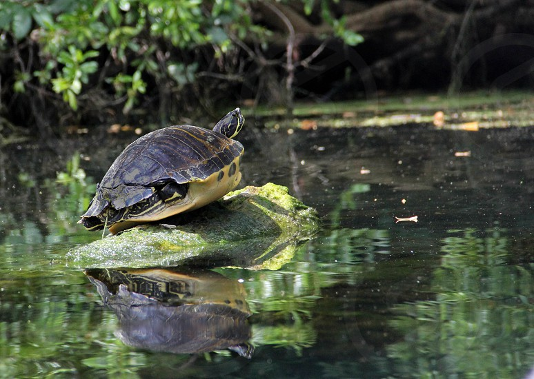 freshwater turtle turtle on a log River no people horizontal nature outdoors natural photo
