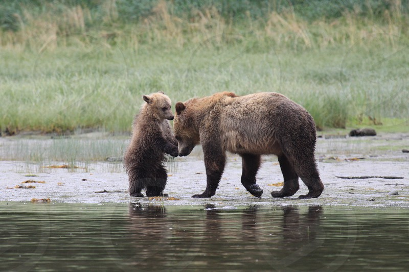 Grizzly mother and cub BC photo