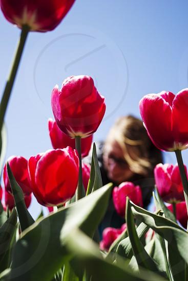 tulips dutch flowerfield photo