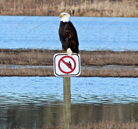 Bald Eagle on 'No-Hunting' sign in a wetland on Whidbey Island WA. photo