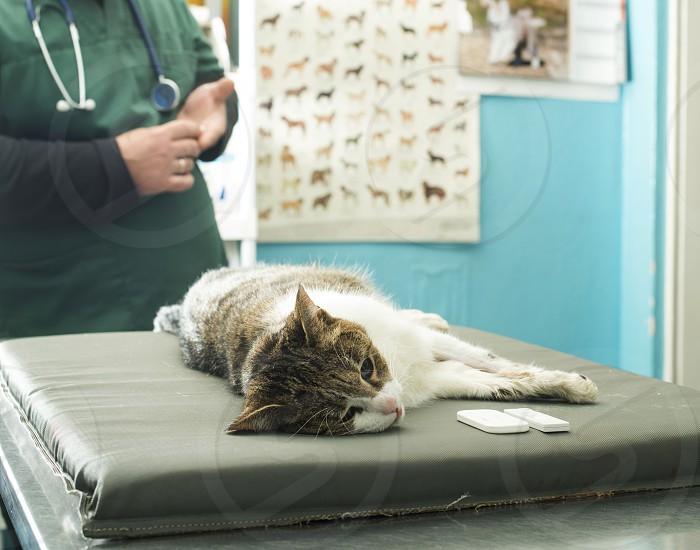 Veterinary Blood test. Cat in vetrinary photo