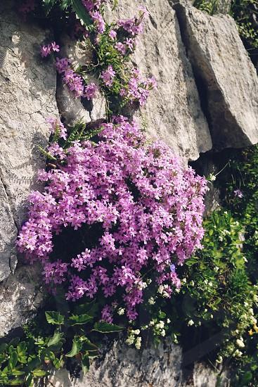 purple flowers in the wild photo