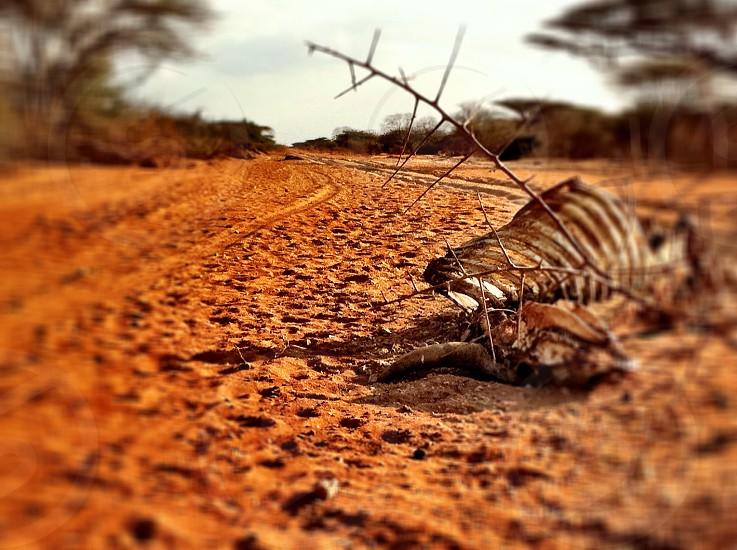 animal skeleton on reddish brown desert sand photo