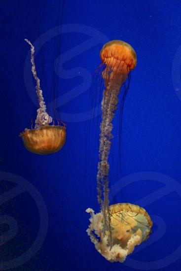 Three jellyfish / man-o-war  photo