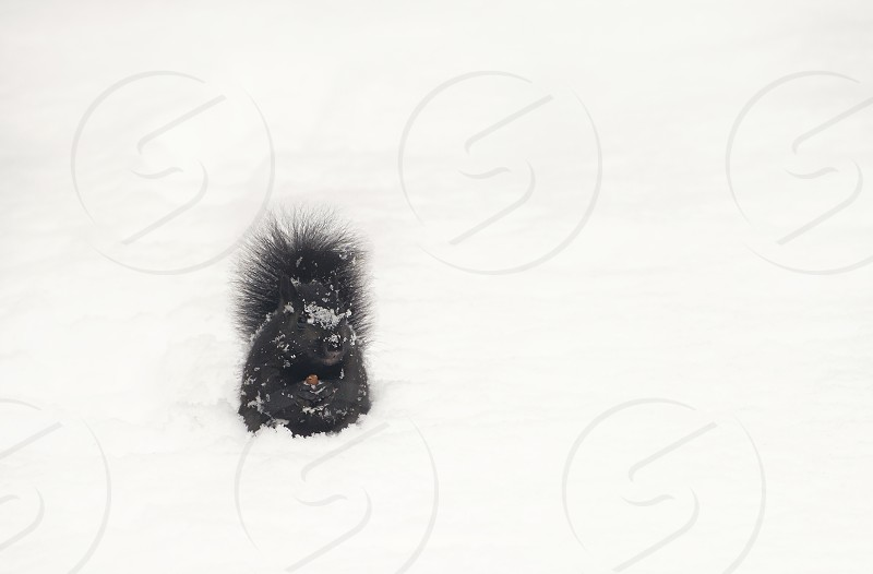 Squirrel in the snow. photo