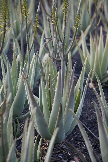a Aloe Vera cactus Plantation the Island of Lanzarote on the Canary Islands of Spain in the Atlantic Ocean. on the Island of Lanzarote on the Canary Islands of Spain in the Atlantic Ocean.