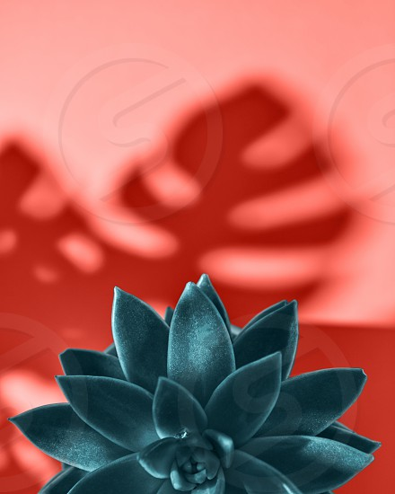 Creative composition with evergreen succulent plant with pattern shadows leaf Monstera on a color Living Coral background place for text. Top view. photo
