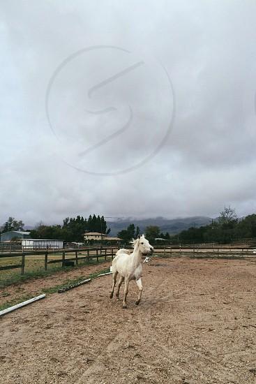 white horse running in circles photo