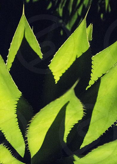 agave plant green shadow photo