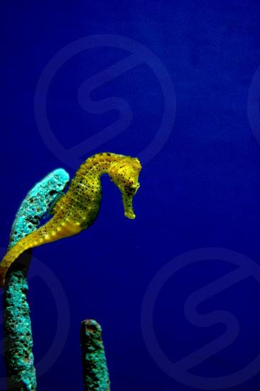 Seahorse blue yellow photo