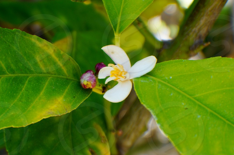 white flower and purple buds on bush photo