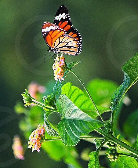 monarch butterfly perched on white and yellow petaled flower selective focus photography photo