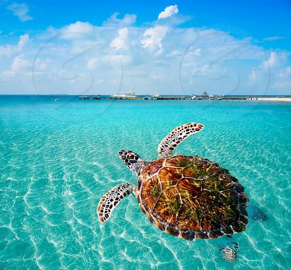 Turtles photomount in Caribbean Isla Mujeres of Mexico photo