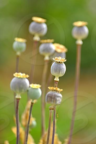 opium poppy photo