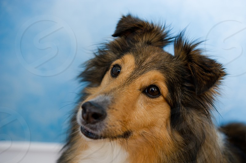 adopt; animal; background; breed; canine; collie; companion; cute; dog; domestic; dwarf; family; friend; haired; herd; herding; hound; isolated; long; looking; mammal; miniature; pedigree; pet; portrait; purebred; rescue; scotch; sheepdog; sheltie; shelty; shepherd; shetland; shot; small; studio; toonie; up; white photo