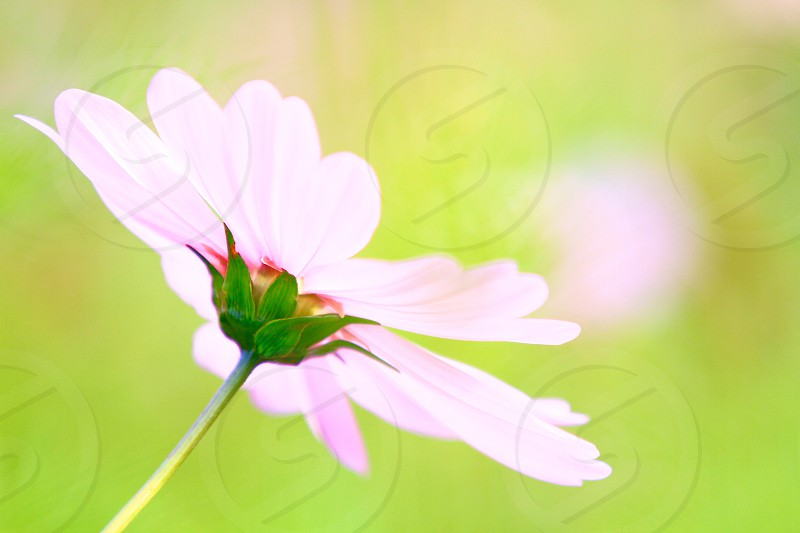 PHOTO CHALLENGE 'The 'Color Green' (8) Light Pink Cosmos photo