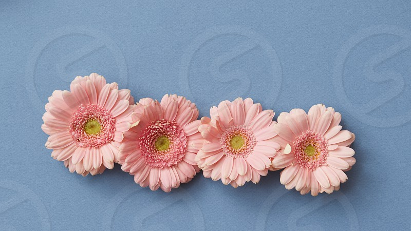 Four pink gerberas on a blue background. The concept of the Tetrisu game. Floral background. Flat lay. photo
