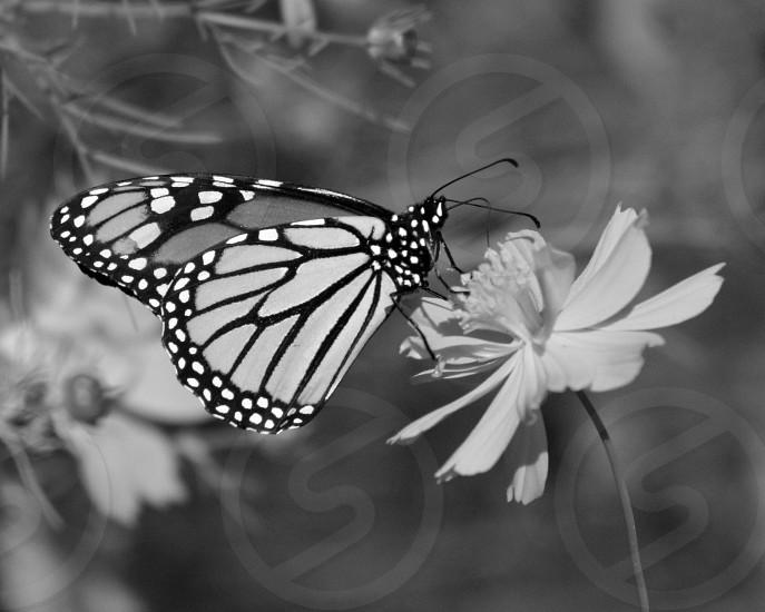 Butterfly in b/w photo