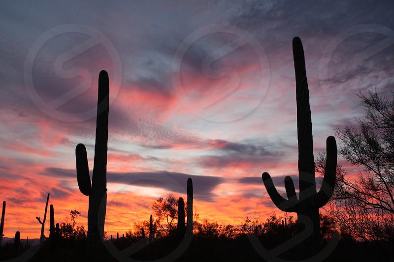 Sonoran Desert sunset with iconic Saguaro columnar cacti Carnegiea gigantea in Saguaro National Park Arizona AZ USA photo