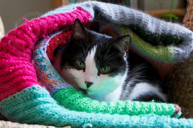 black and white short haired cat curled up underneath knit blanket photo