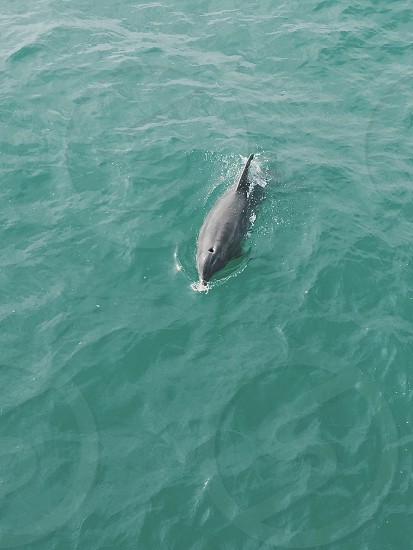 Wild dolphins sightings  #animals #beauty #nature #waves #dolphins #beautiful #travel  photo