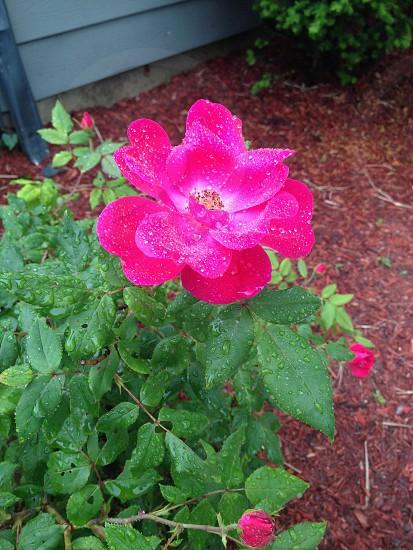 #rose #canoshot photo