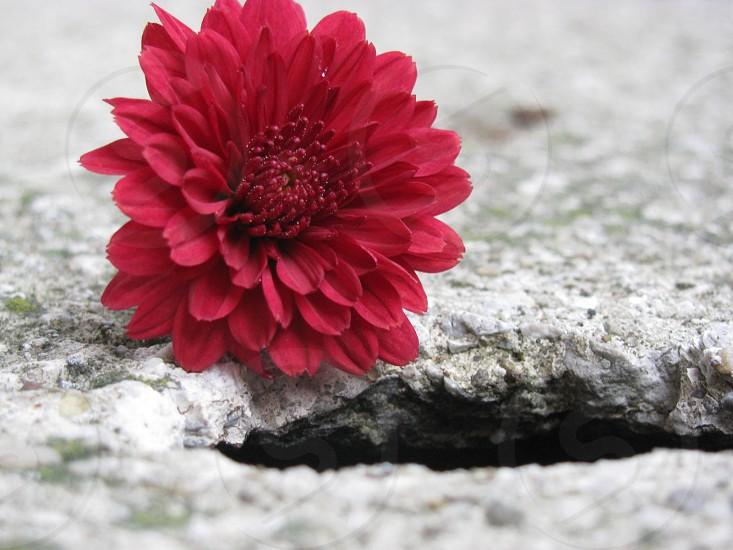 Rock flower mum red edge photo