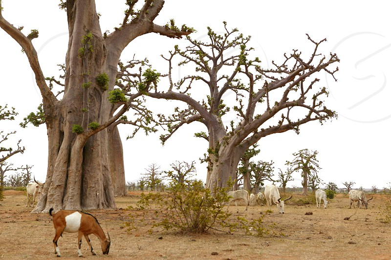 African Baobab tree with livestock eating arround in Senegal    photo