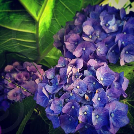 Purple hydrangea nature flowers photo