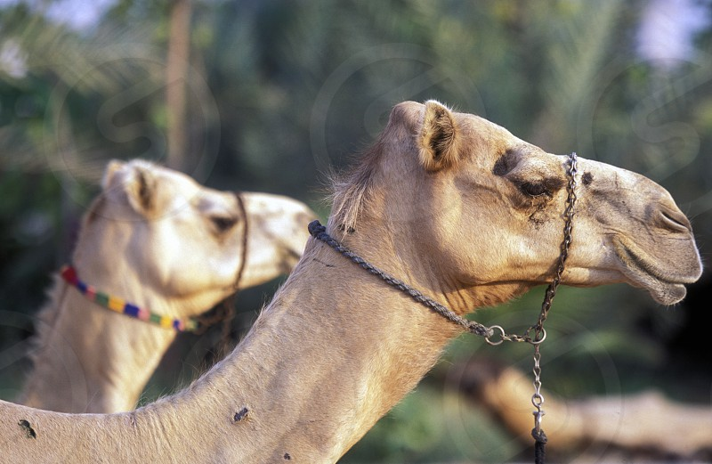 a camel in the city of Dubai in the Arab Emirates in the Gulf of Arabia. photo