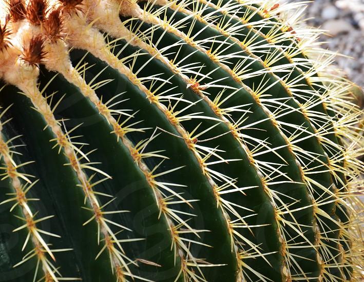 sago palm plant photo